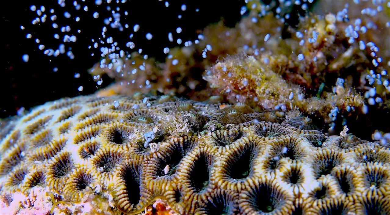 墾丁珊瑚產卵大爆發,海底盡是如滿天星斗般的卵。圖/蔡永春提供