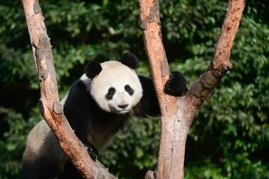 時隔62年再有四川大熊貓赴俄,圖為「如意」。圖/翻攝澎湃新聞
