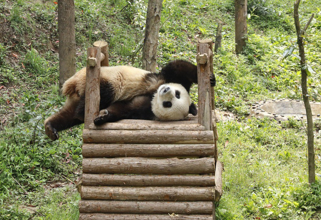 大陸大熊貓保護研究中心碧峰峽基地裡,大熊貓「如意」正在接受隔離檢疫。(新華社)