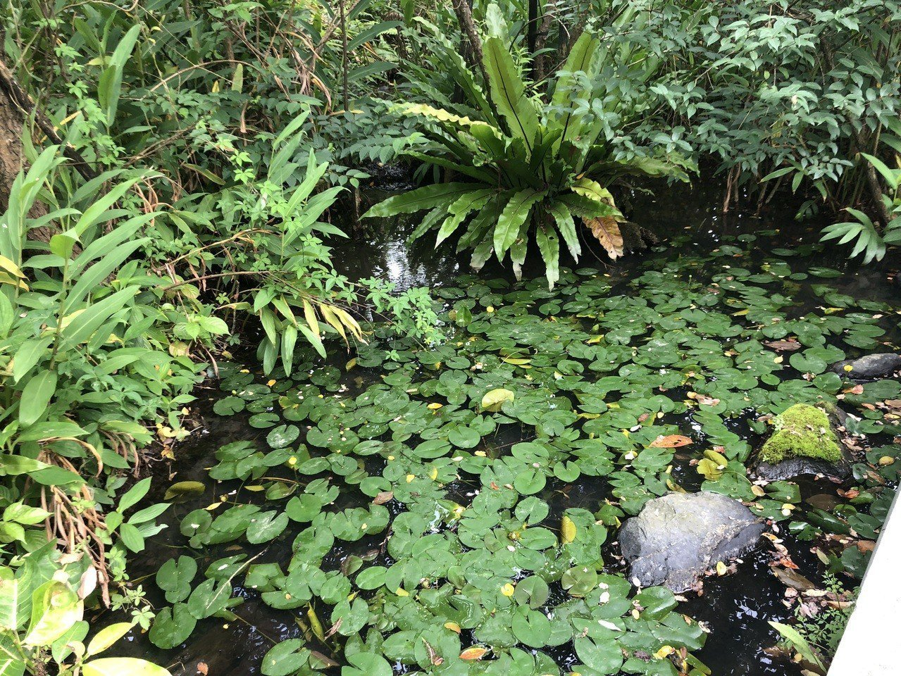 大安森林公園的螢火蟲復育池。記者劉柏均/攝影
