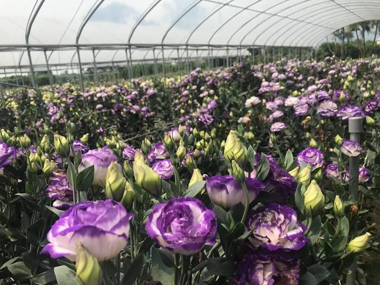 除了百合花外,還有洋桔梗等花種提供遊客欣賞。圖/摘自中社觀光花市粉絲專頁