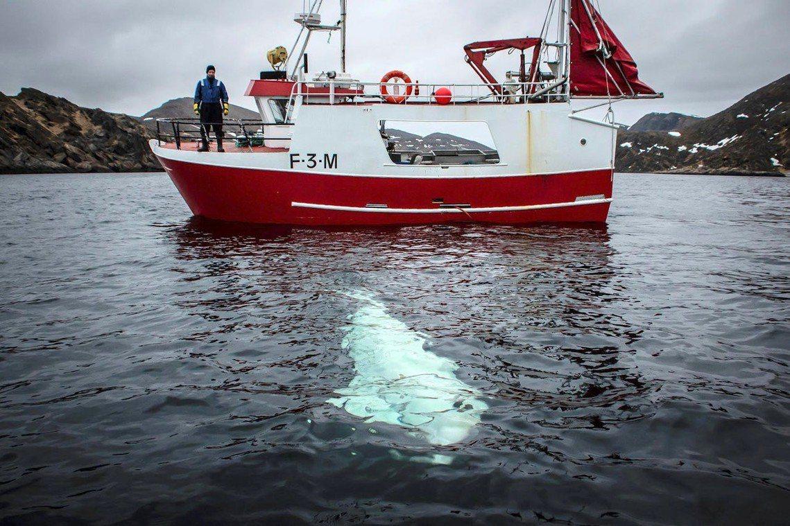 如何具體確認白鯨來歷?如何處置?若放生該如何協助適應大海生活?目前挪威當局還未對...
