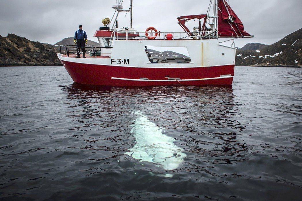 挪威漁民上周發現一隻白鯨,身上戴著可裝攝影機的套具,專家認為牠受過俄羅斯軍方訓練...