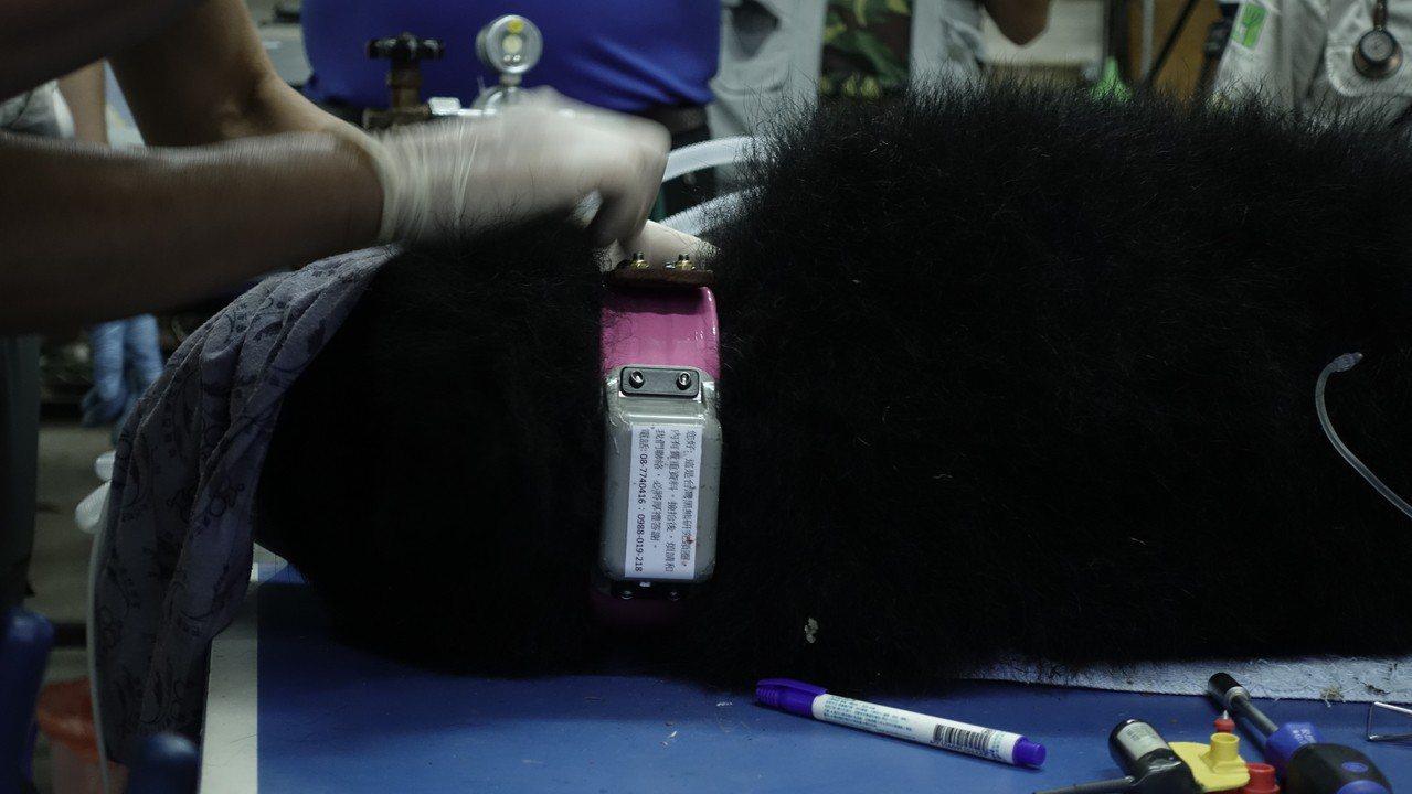 黑熊「妹仔」頸部裝設發報器。圖/林務局提供