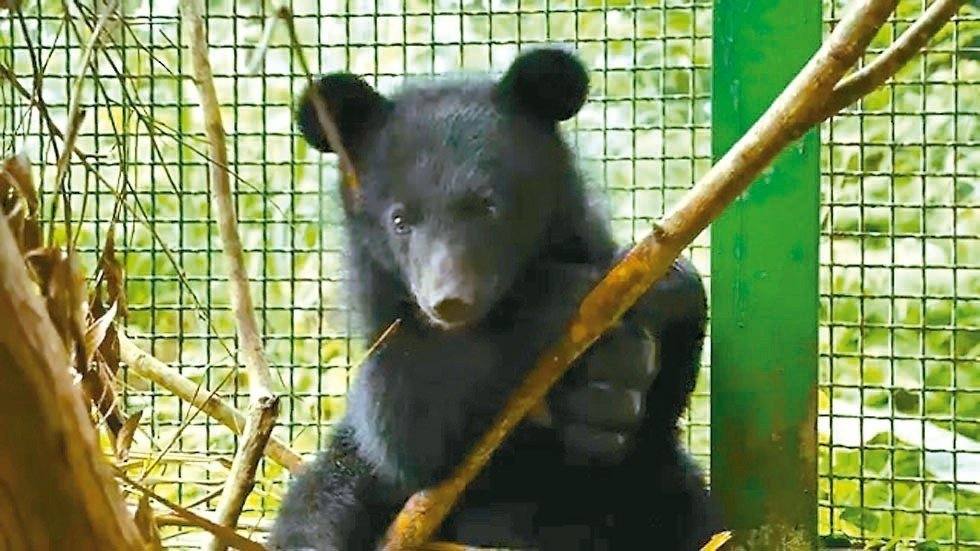 台灣黑熊寶寶「妹仔」。 圖/台灣黑熊保育協會提供