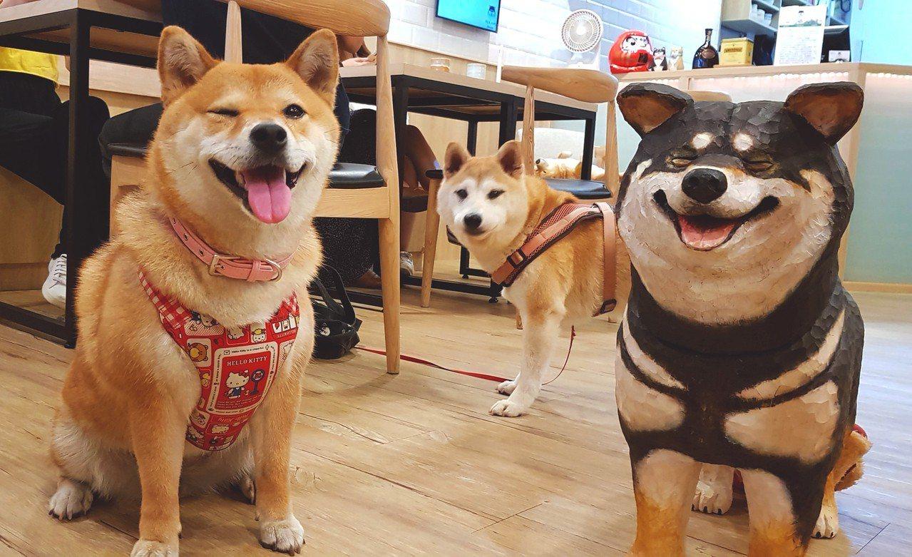 圖/店內柴犬們的合照,可愛的屁柴Toro開心揪咪,而木雕黑柴笑臉也很討喜。網友屁...