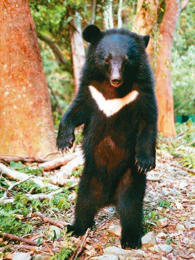 南安小熊在野訓場時的照片。 圖/台灣黑熊保育協會提供