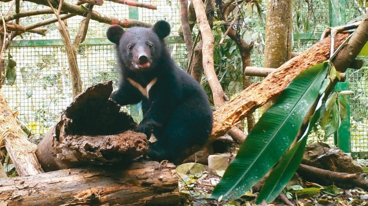 南安小熊四個月大時落單獲救。 圖/林務局提供