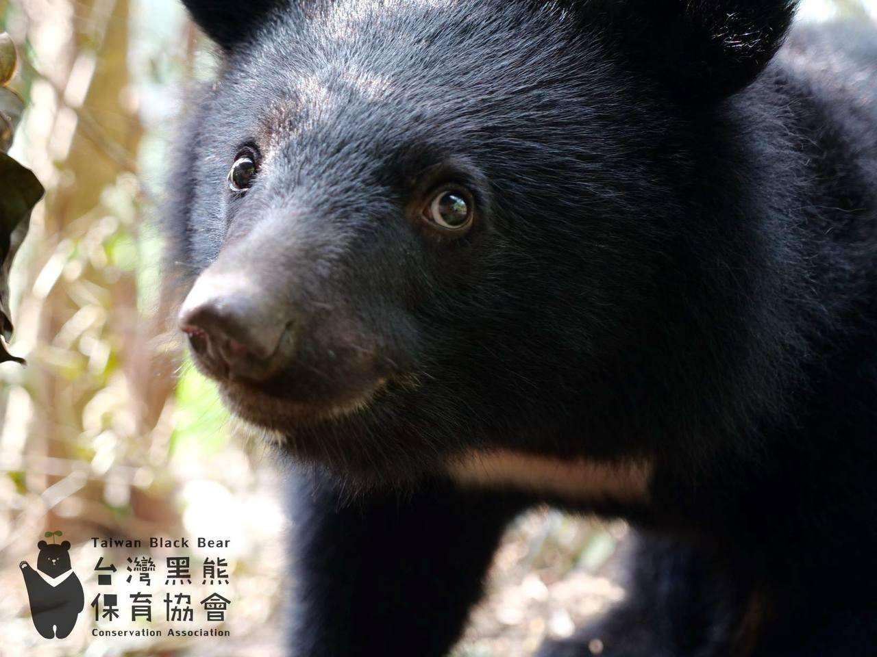 去年十月底剛做完健檢的南安小熊妹仔。圖/取自台灣黑熊保育協會臉書專頁