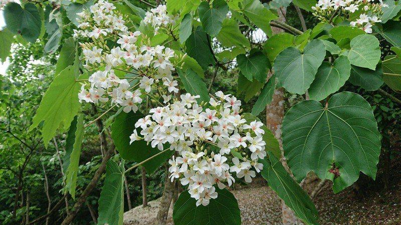 因應新冠肺炎疫情,新北市桐花祭系列活動將轉型舉辦。 圖/新北市景觀處提供