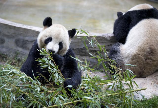貓熊示意圖。新華社資料照