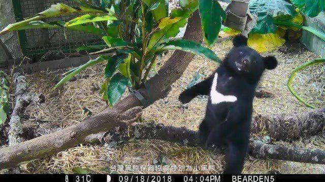 回歸山林的小熊「妹仔」。圖/台灣黑熊保育協會提供