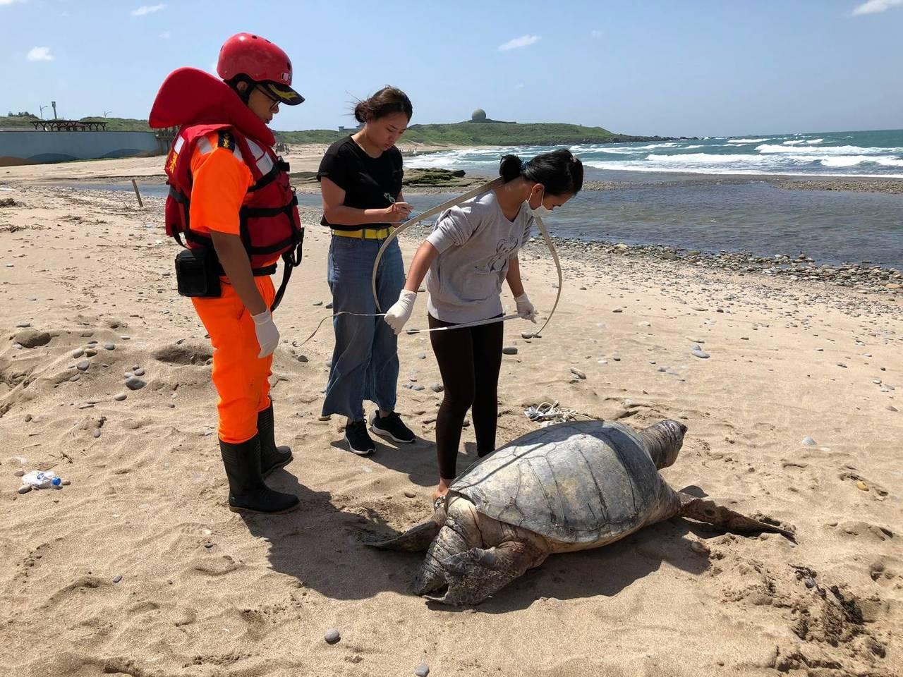 北海岸石門老梅沙灘今天發現一隻死亡巨龜,海大海洋研究所人員到場檢視,為保育類綠蠵...