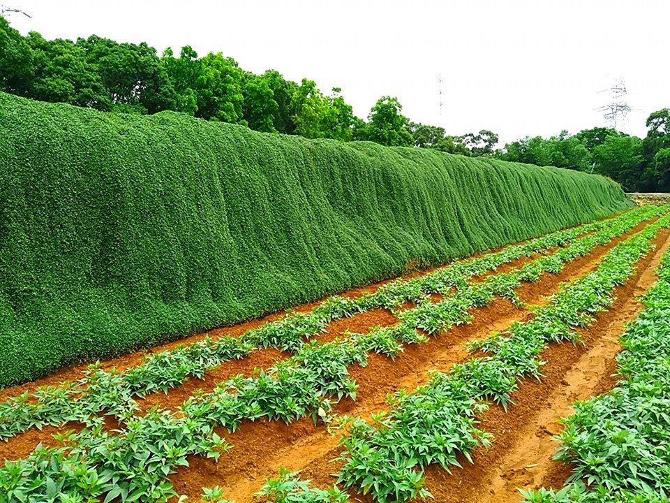 圖/綠色瀑布緊靠著私人農田,請大家小心農作物。網友郭巧慧授權