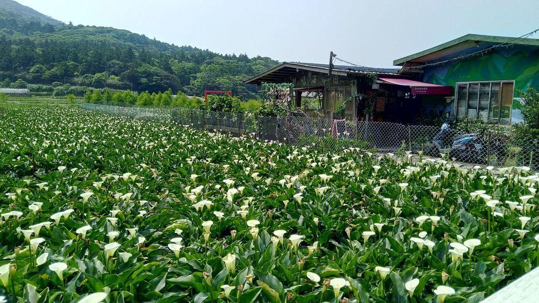 海芋花田依然美麗。圖/北市府產業局提供