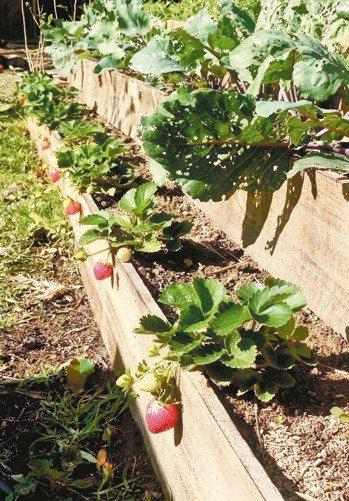 吃蚯蚓肥長大的草莓。 圖╲鄭誠提供