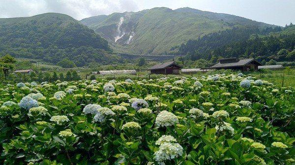陽明山竹子湖繡球花季即將開跑。圖/臺北市政府產業發展局提供
