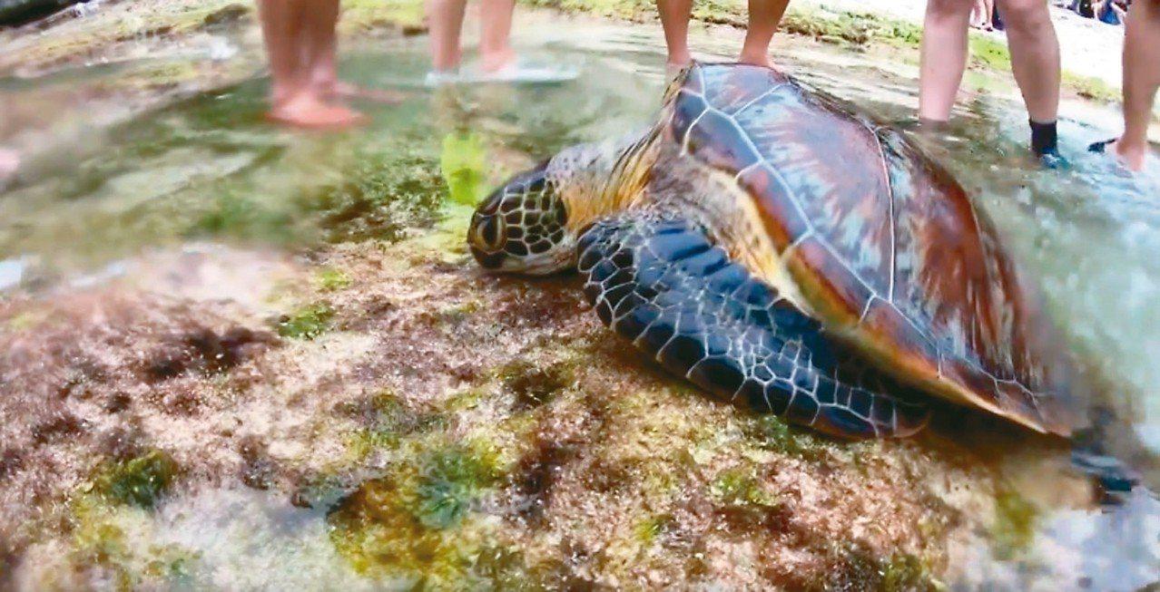 屏東小琉球4日驚傳海龜疑似遭民眾以魚叉蓄意打穿龜殼,導致死亡。 圖/讀者提供
