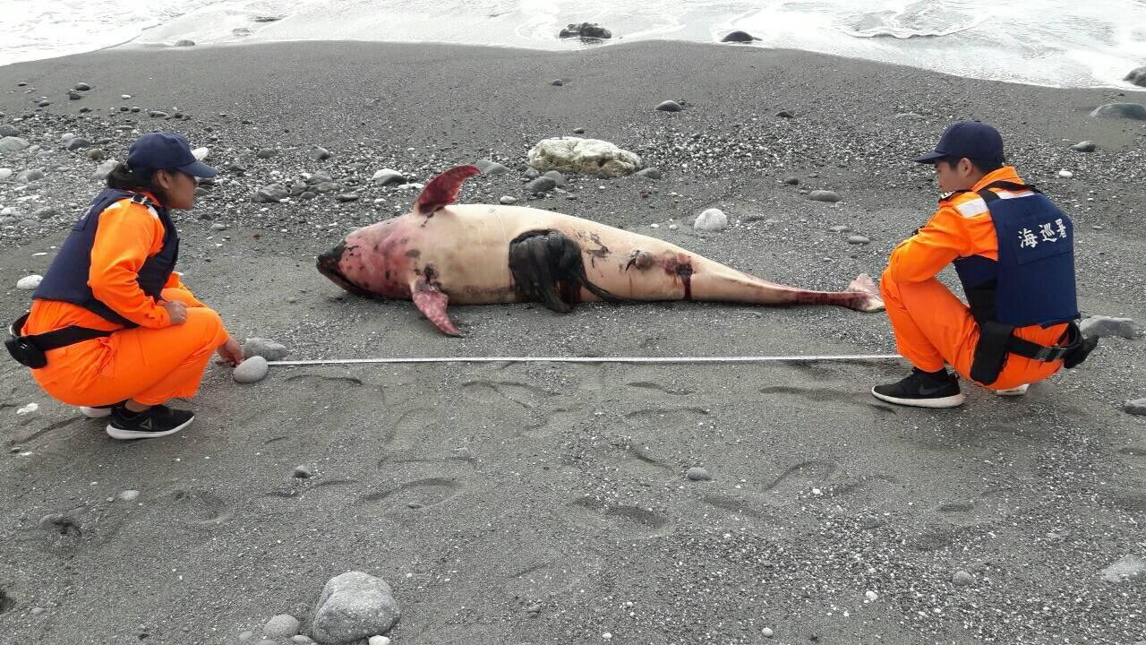 台東縣成功鎮海濱公園沙灘上今年3月16日被人發現一隻死亡的花紋海豚,海巡署東部分...