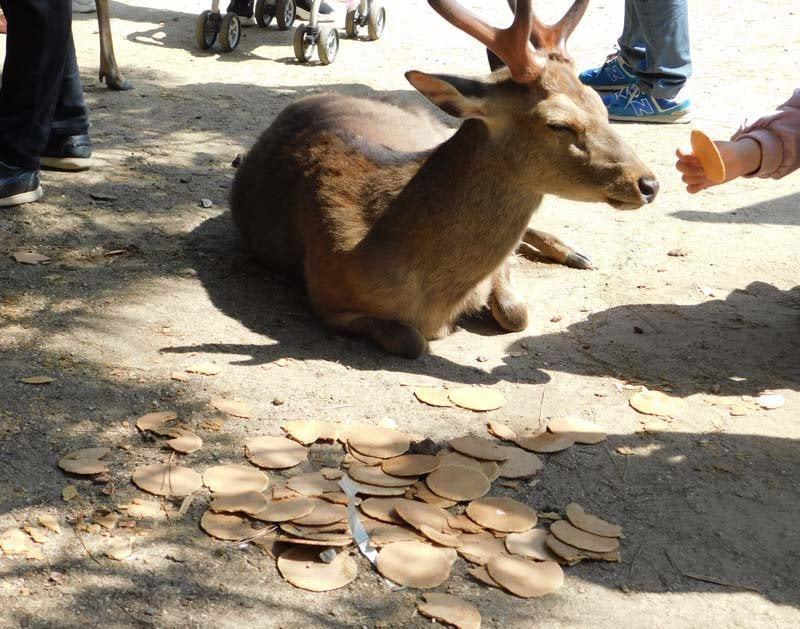 面對一大堆鹿仙貝都無動於衷。 圖片來源/Brise_Marine@twitter
