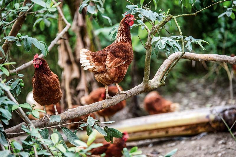 後山特有的放山雞文化,吃一種食材,也是認識一片風土。 (東台灣食通信提供)