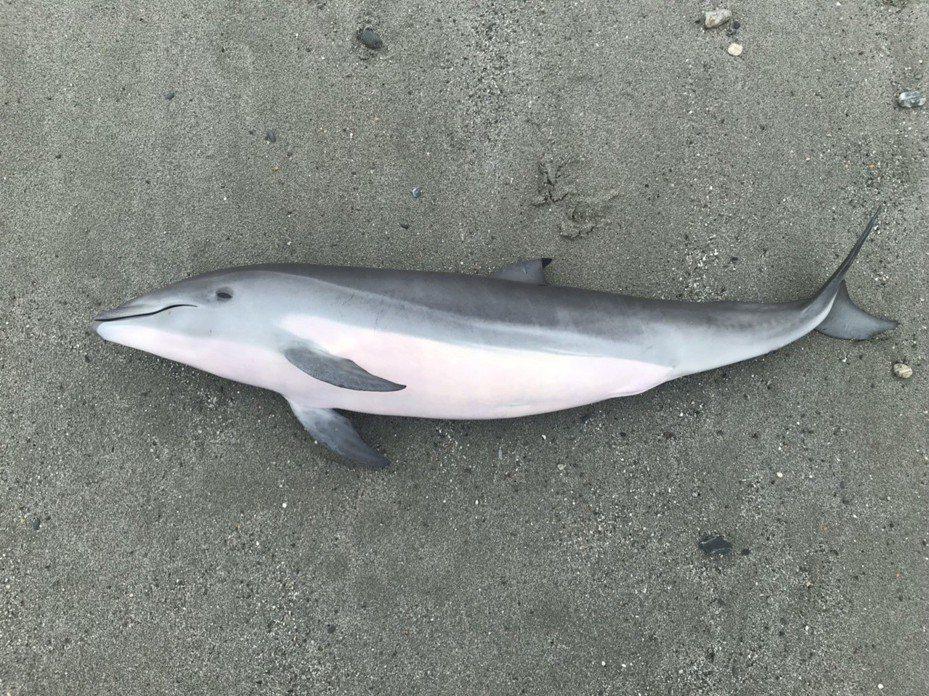 弗氏海豚去年5月也被民眾發現擱淺在花蓮北濱海灘,身上無明顯外傷。圖/海巡署東部分署提供