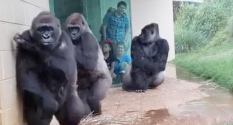 猩猩們忙著躲雨的表情十分逗趣。圖擷自臉書
