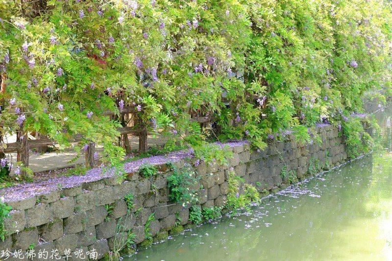 ▲紫藤種在埤塘邊,盛開時一進來就能看到整排紫色花朵跟賞花人潮,現在人潮都往流蘇那...