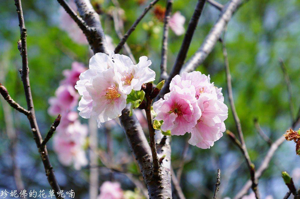 ▲突然看到兩種不同櫻花,是這趟賞花的小確幸