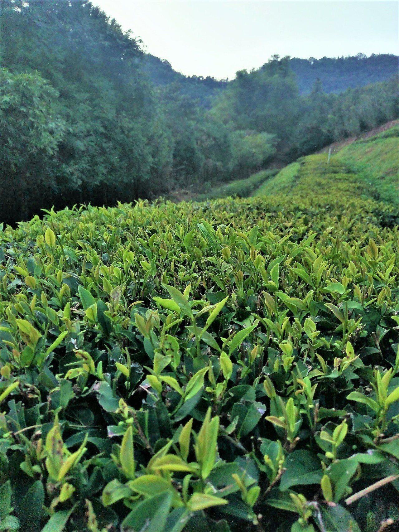 台灣新品種「台茶23號」是從祁門種紅茶種子,經過80年的育種篩選,終於將育苗種苗...