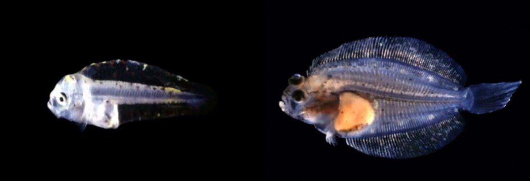 左:小時候,右:長大後。 圖片來源/《Flatfish Metamorphosi...