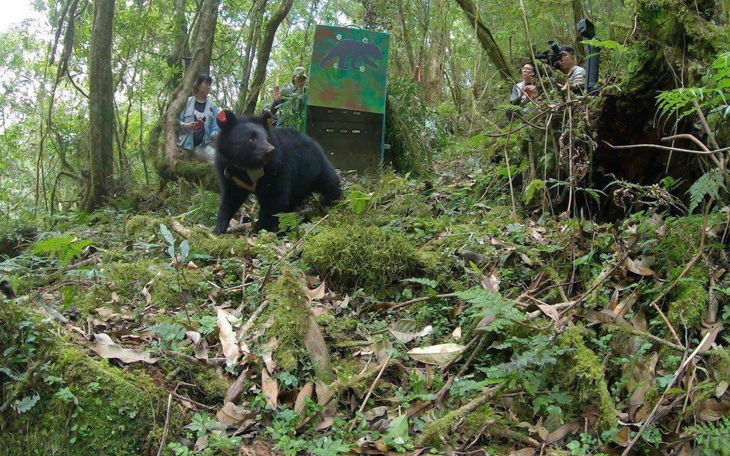小熊妹仔重回山林。圖/林務局提供
