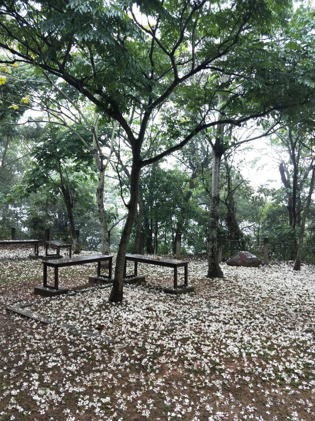 員林市藤山步道每年春季是滿山滿谷的白色油桐花,吸引遊客登山賞花。記者何烱榮/攝影