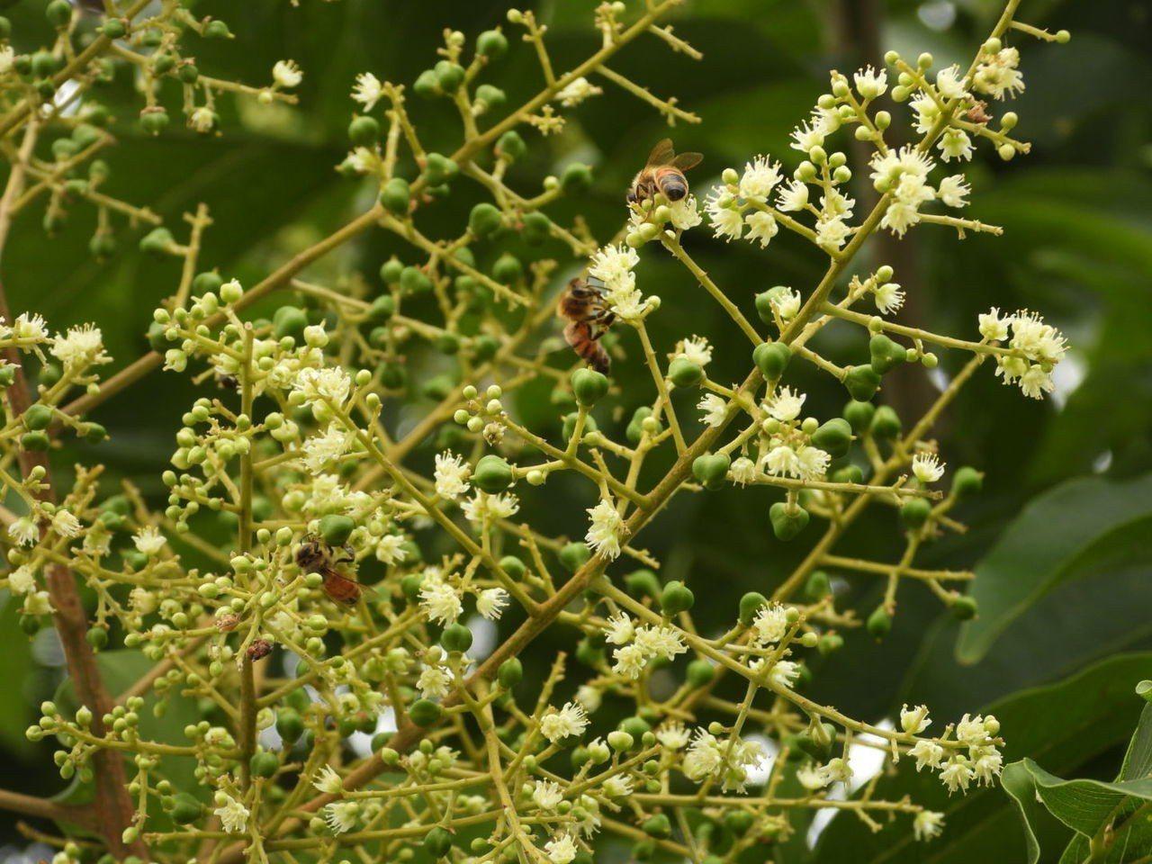 無患子開花今年出現大批蜜蜂採蜜, 原來是龍眼荔枝花太少。記者周宗禎/攝影