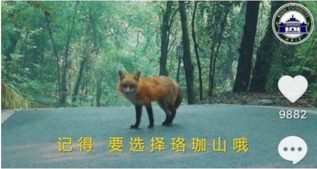 武漢大學將校寵珞珞拍成短影音,成為代言狐招攬學生。圖/長江日報