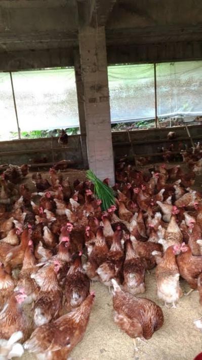 以平飼飼養的蛋雞可以在運動區自由活動。圖/動保處提供