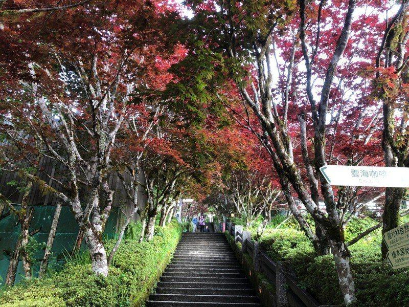 太平山國家森林遊樂區中央階梯兩側的「紫葉槭」,紫紅色新葉綻放,有如楓紅般美麗。圖/羅東林區管理處提供