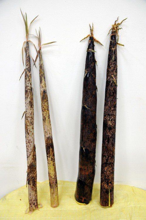 桂竹筍+轎篙筍。圖/台北市立動物園提供