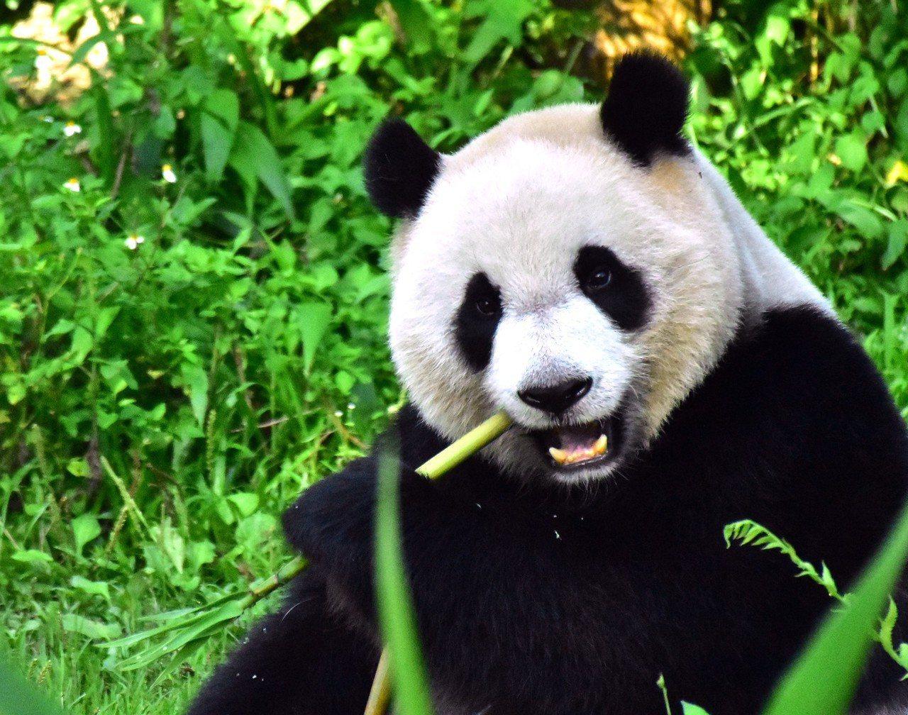 竹筍讓圓仔愛不釋手。圖/台北市立動物園提供