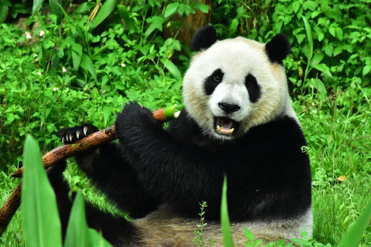對於大貓熊來說,竹筍同樣有著難以抵抗的吸引力。圖/台北市立動物園提供