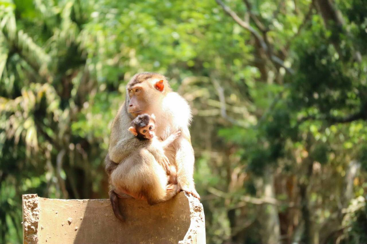 六福村現有1隻剛滿月的豬尾猴寶寶,民眾可以看見猴寶寶與母親的親暱互動。圖/六福村...