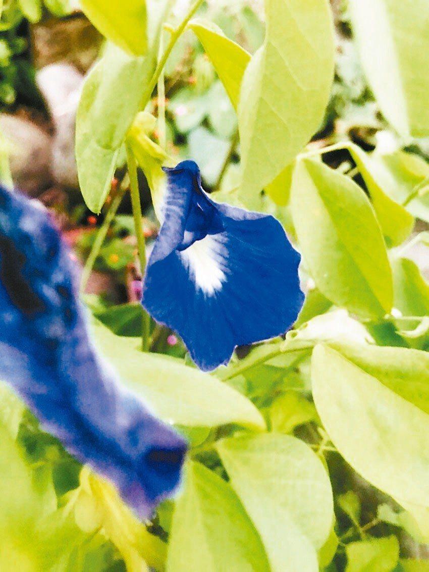 蝶豆花缺食用安全性評估,北市衛生局說不可以吃,圖是蝶豆花。 圖/讀者提供