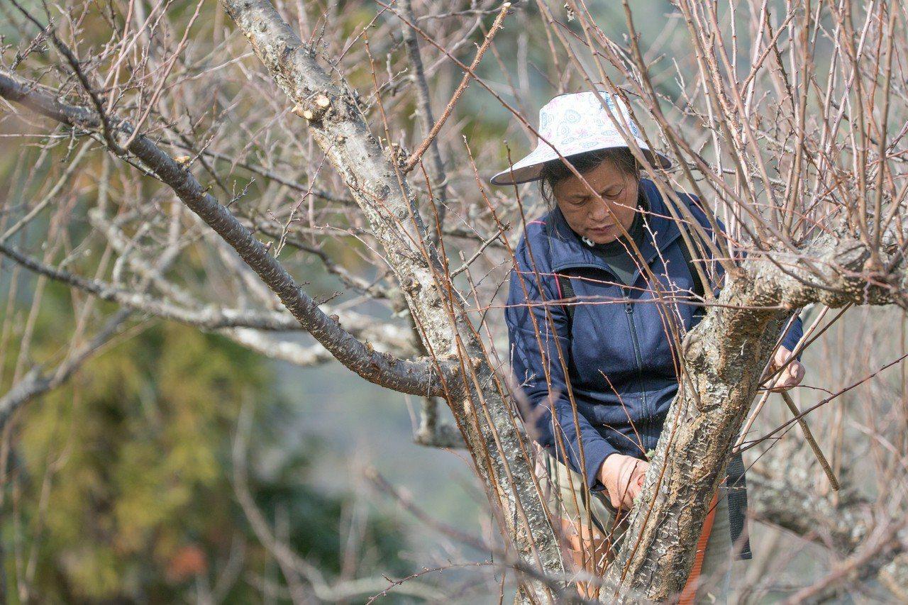 水蜜桃阿嬤靠種植水蜜桃維生,今年桃樹至今未開花,收成恐怕全泡湯。本報資料...
