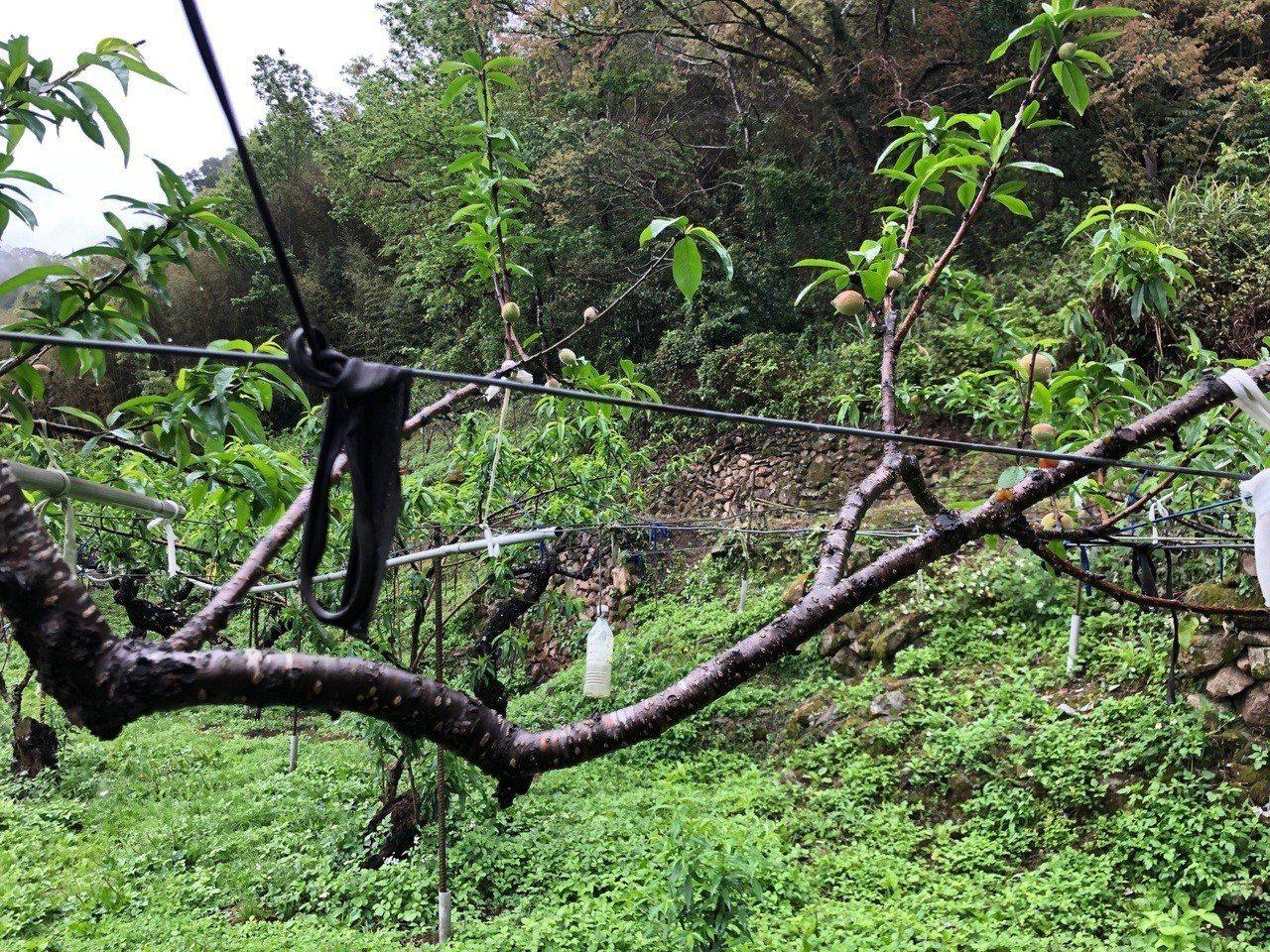 桃園復興五月盛產「媽媽桃」,但今年受暖冬乾旱影響,產量至少掉了一半,市府農業局近...