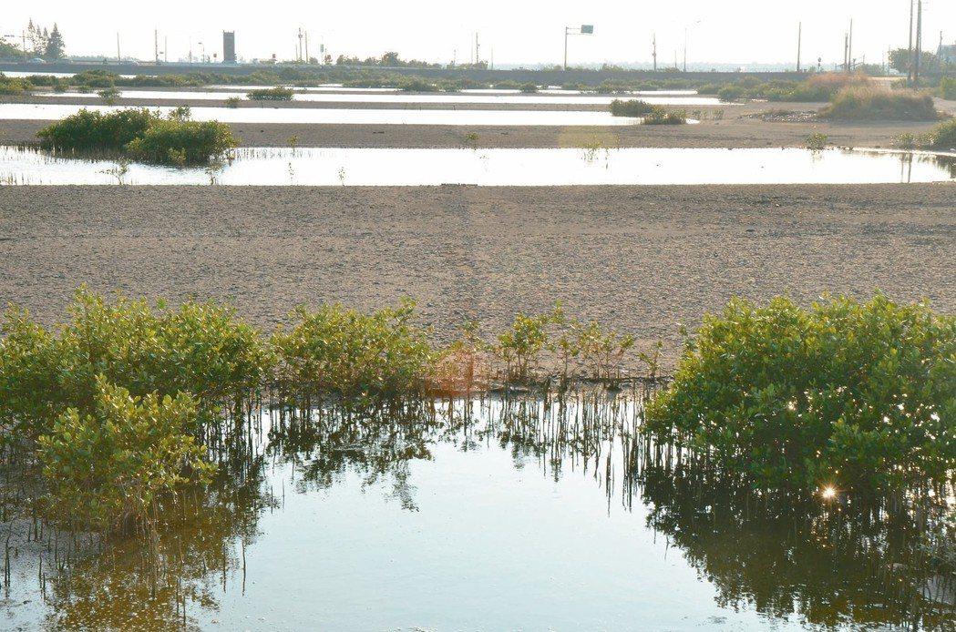 台南七股鹽灘地即將作為光電專區,外界憂心將危及黑面琵鷺的棲息地。 本報資料照片