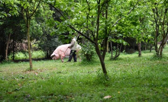 「豬堅強」有管理員照顧,每周洗一次配有藥方的熱水澡,管理員還會帶著牠去散步、曬太...