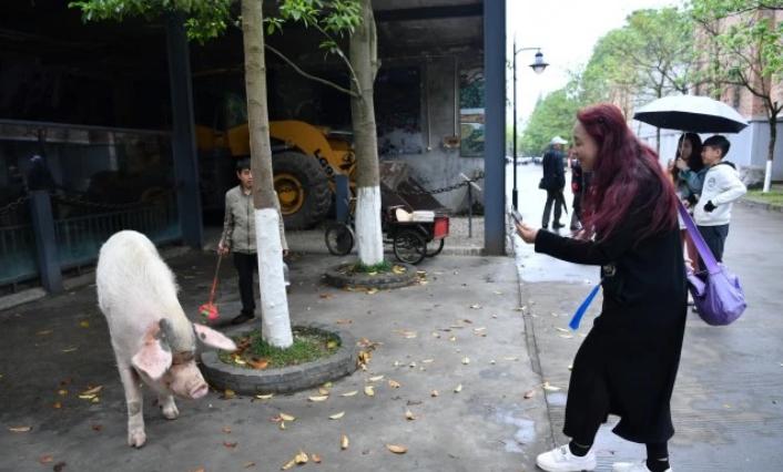 「豬堅強」已成建川博物館的明星,每個到訪的遊客都要與牠拍照合影。 (圖/取自看川...