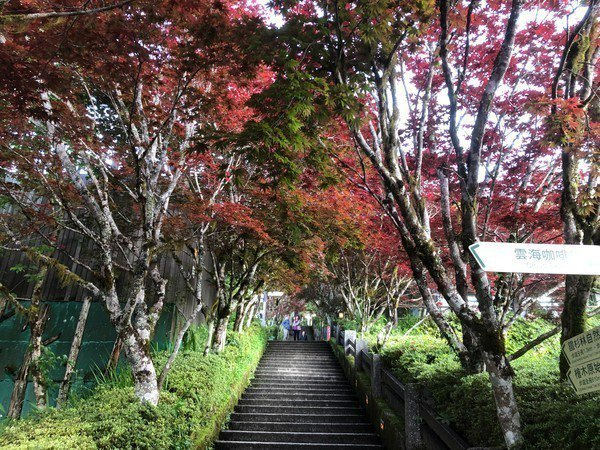 夏天也能看到楓紅景色,太平山紫葉槭正盛開。圖/羅東林管處提供