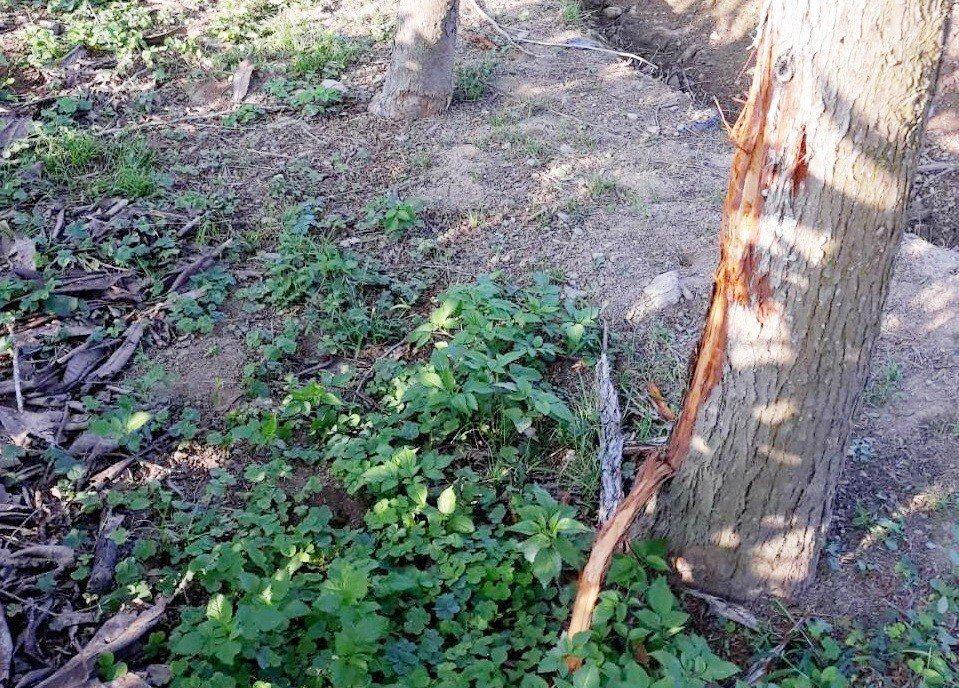 台東縣鹿野鄉龍田村一處鳳梨田旁的樹木樹皮,今天一早被人發現疑遭不明動物剝除,當地...