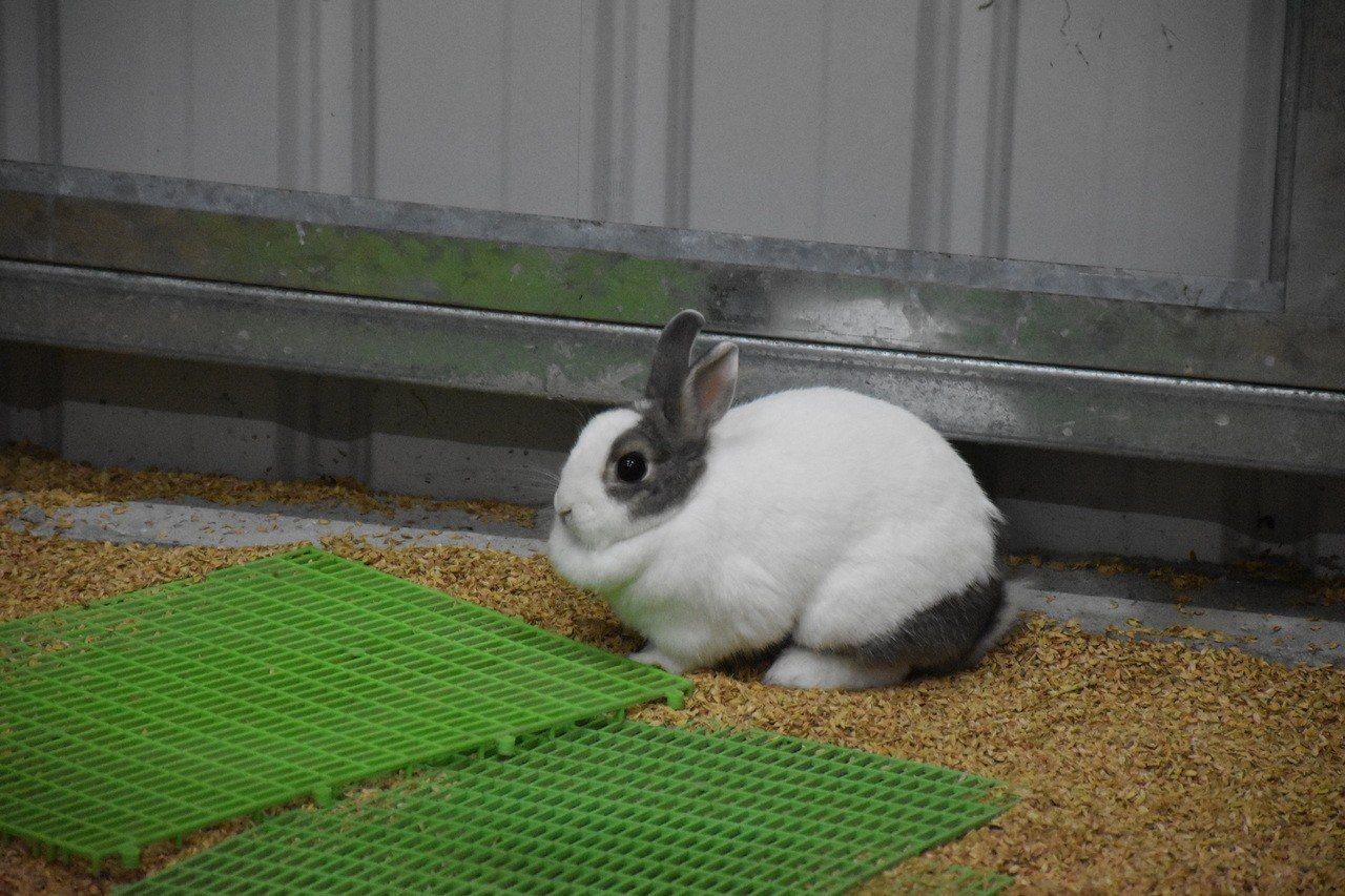 兔子較容易受驚嚇,向陽園正在訓練更親人。記者王思慧/攝影